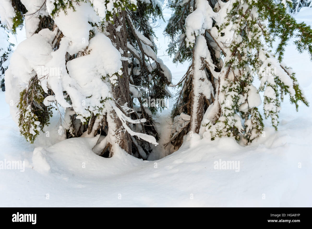 A tree well, a void area of loose snow around the trunk of a tree enveloped in deep snow, is a danger to skiers - Stock Image
