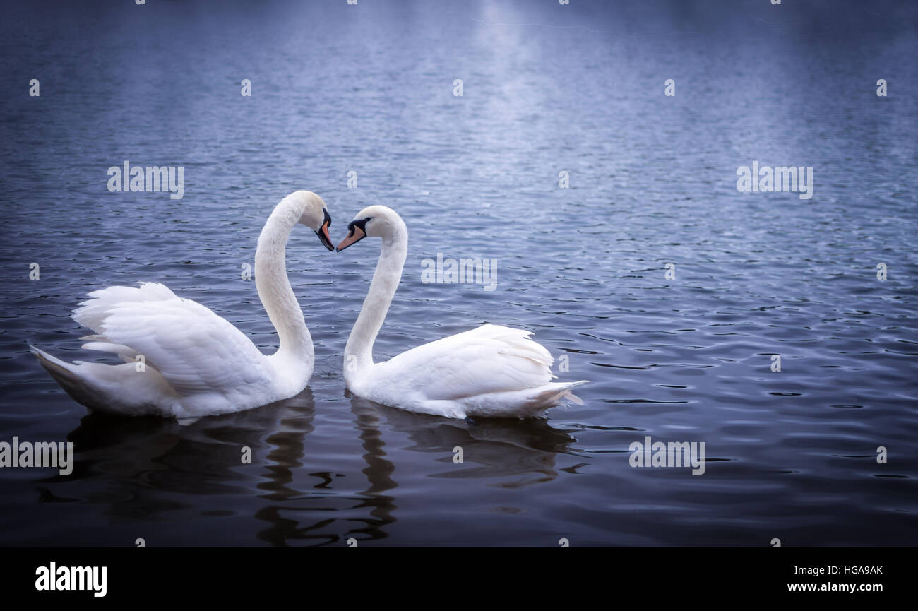 Swans in Serpentine Hyde park, forming a heart shape with their necks Stock Photo