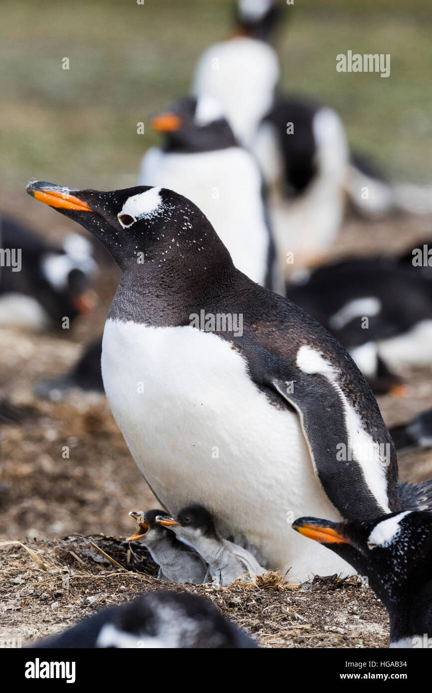 Gentoo Penguin on Sealion Island in the Falklands - Stock Image