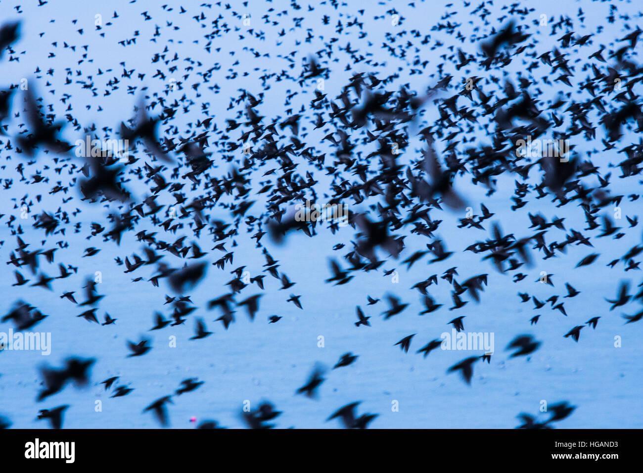 Aberystwyth Wales UK, Saturday 07 January 2017  UK Weather: Flocks of thousands of tiny starlings return at dusk - Stock Image