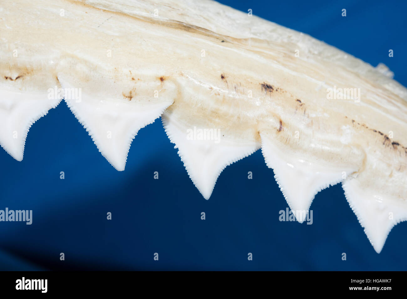 serrated teeth on upper jaw of bull shark, Carcharhinus leucas, used for grasping and tearing apart large prey, Birch Aquarium, La Jolla, California Stock Photo