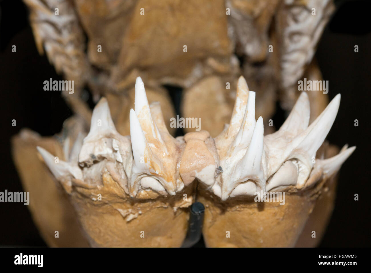 mako shark teeth stock photos mako shark teeth stock images alamy