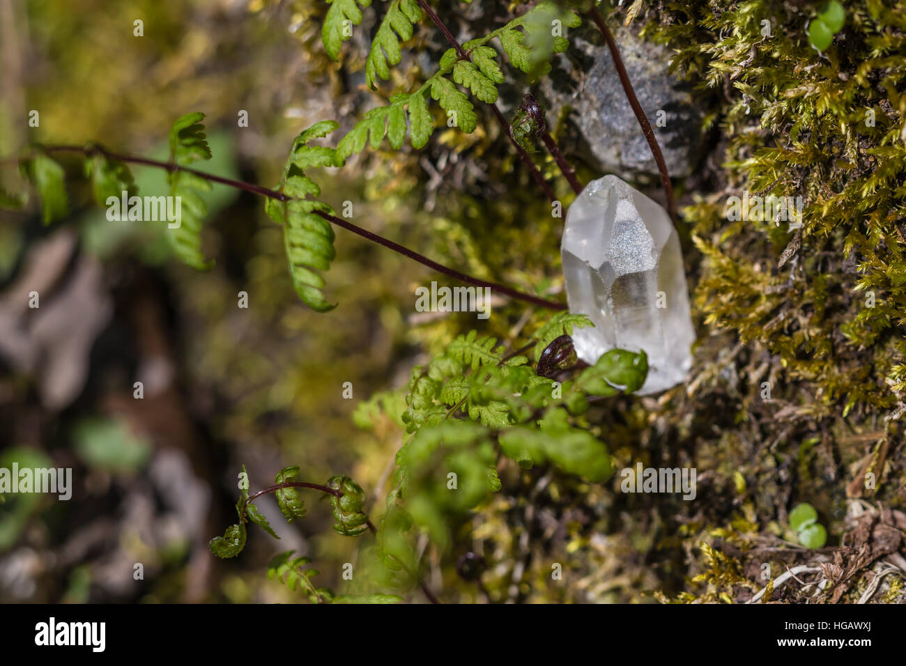 Clear Quartz crystal found among moss and ferns in forest at Serpent Mound State Memorial, where there have been Stock Photo