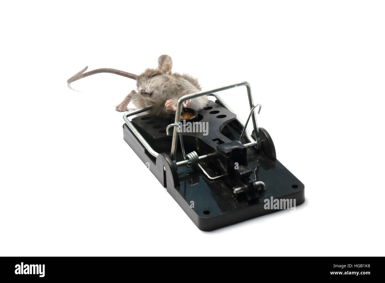 House mouse, mus musculus, caught and killed in a spring trap. Photographed on a white background and prepared for - Stock Image
