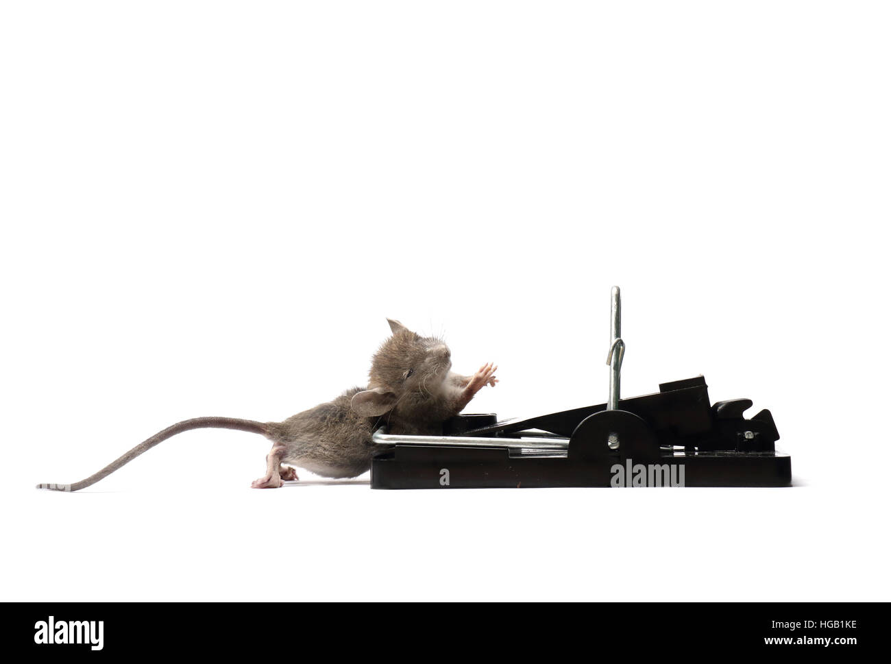 House mouse, mus musculus, caught and killed in a spring trap. Photographed on a white background and prepared for Stock Photo