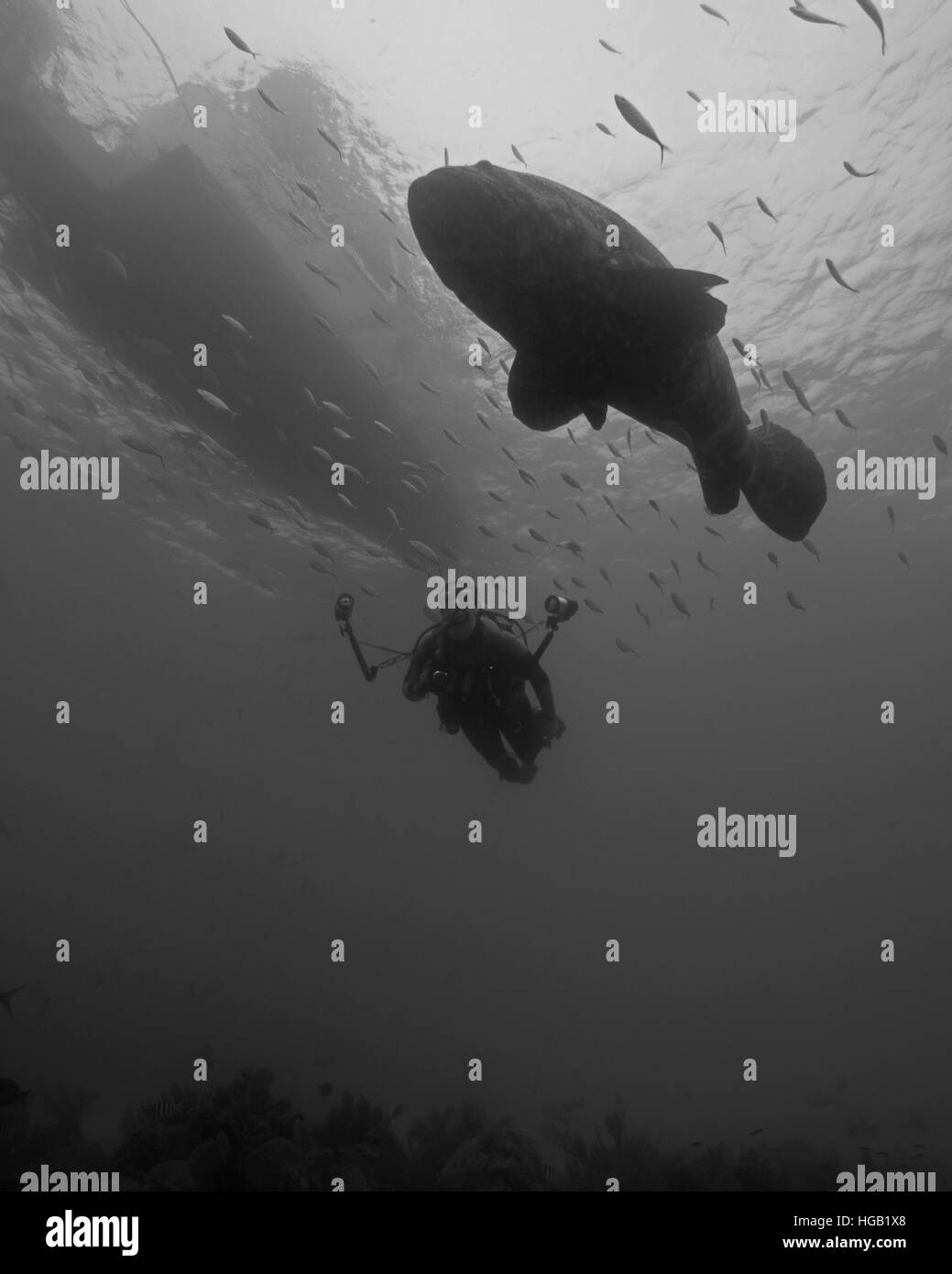 Grouper Fish Black And White Stock Photos Images Alamy