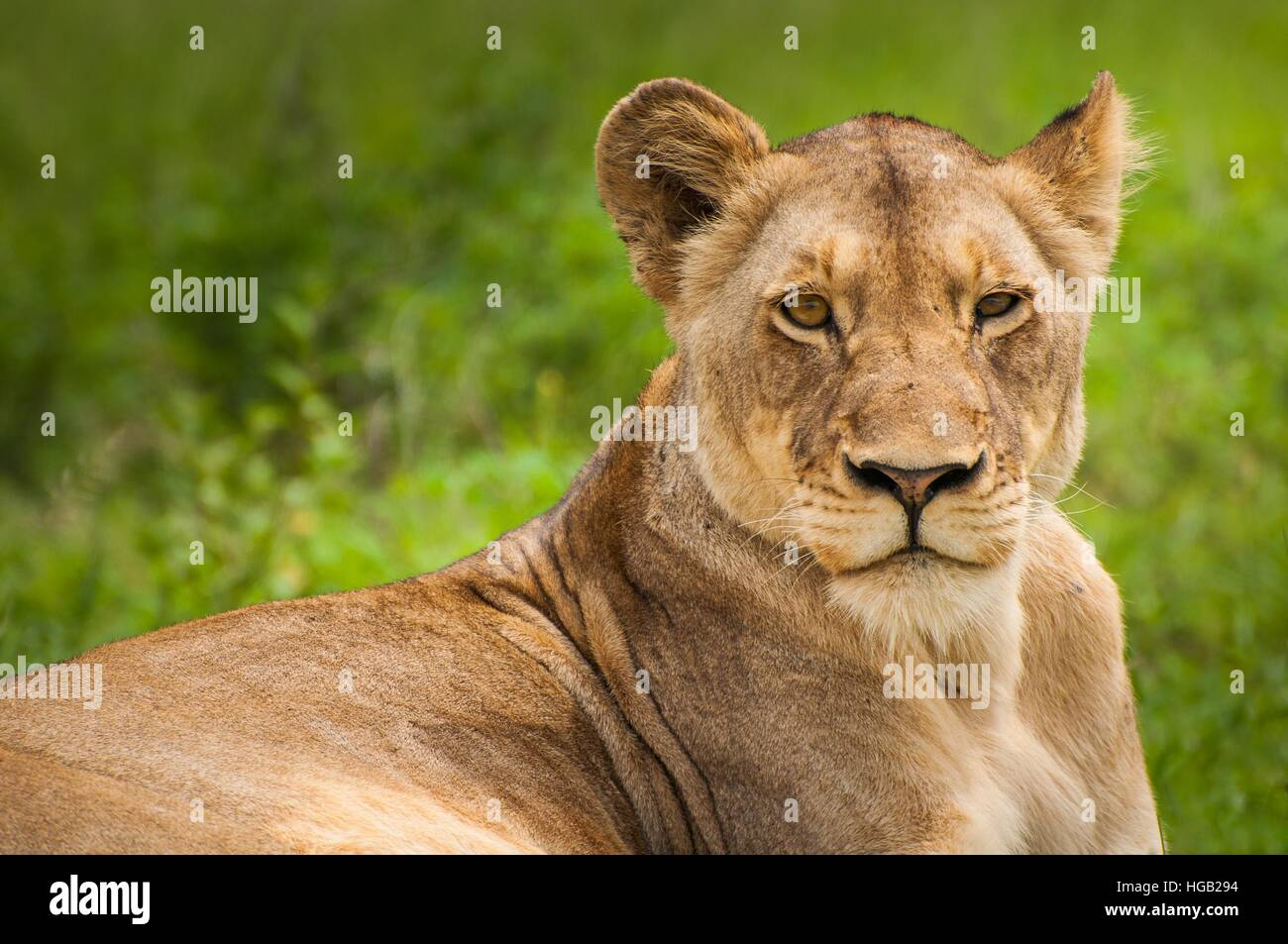 Lion  living in the forest lonely.It is a proved lion. - Stock Image