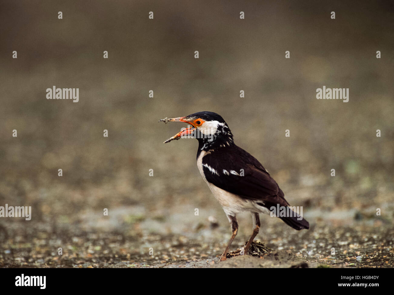 Pied Myna,(Gracupica contra),or Asian Pied Starling,with beak wide open to cool down,Keoladeo Ghana National Park,Rajastha,India - Stock Image
