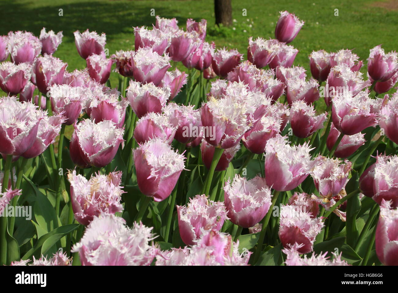 Tulips in lila pink and white with some grass in the background - Stock Image