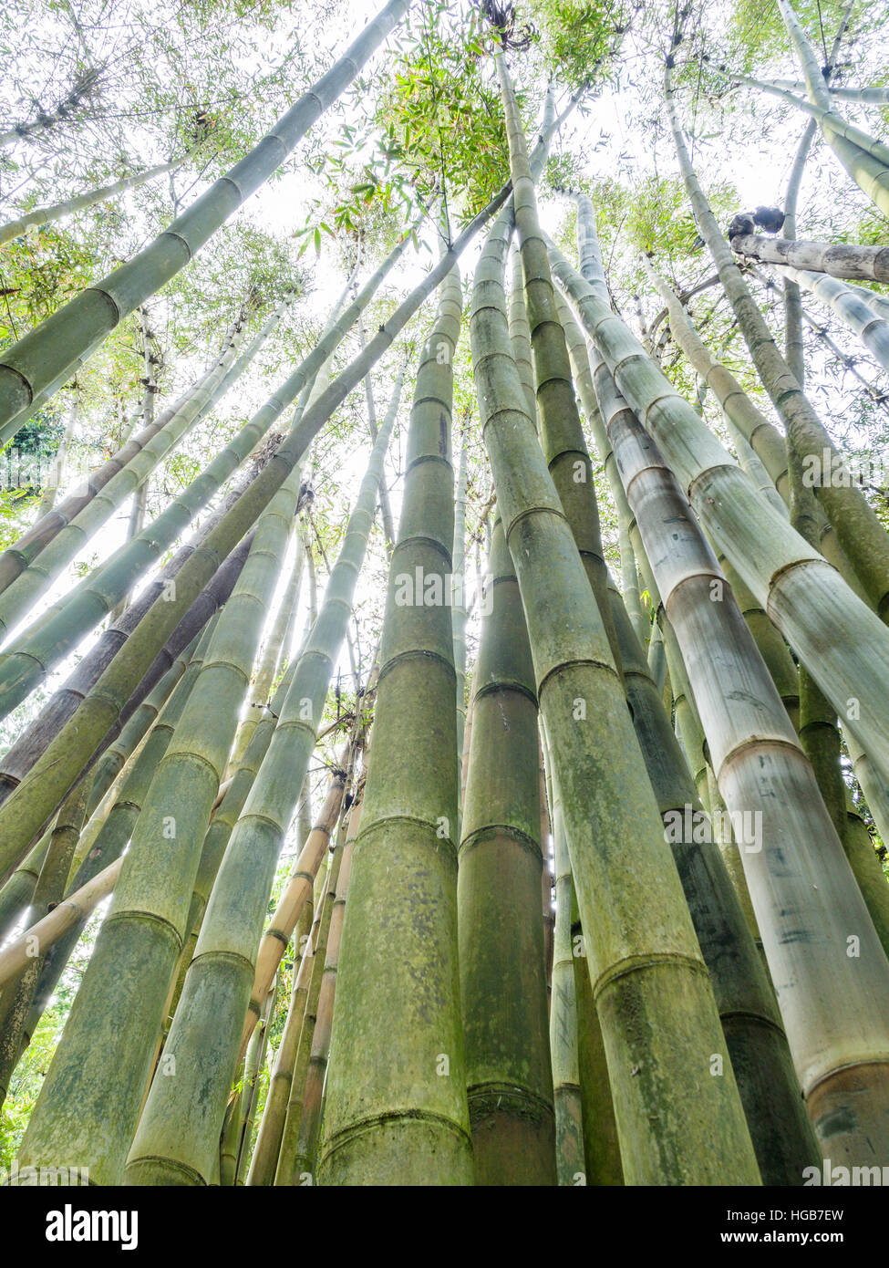 Grove of Giant Bamboo from below. A grove of green and growing bamboo pictured from below showing the segmented - Stock Image