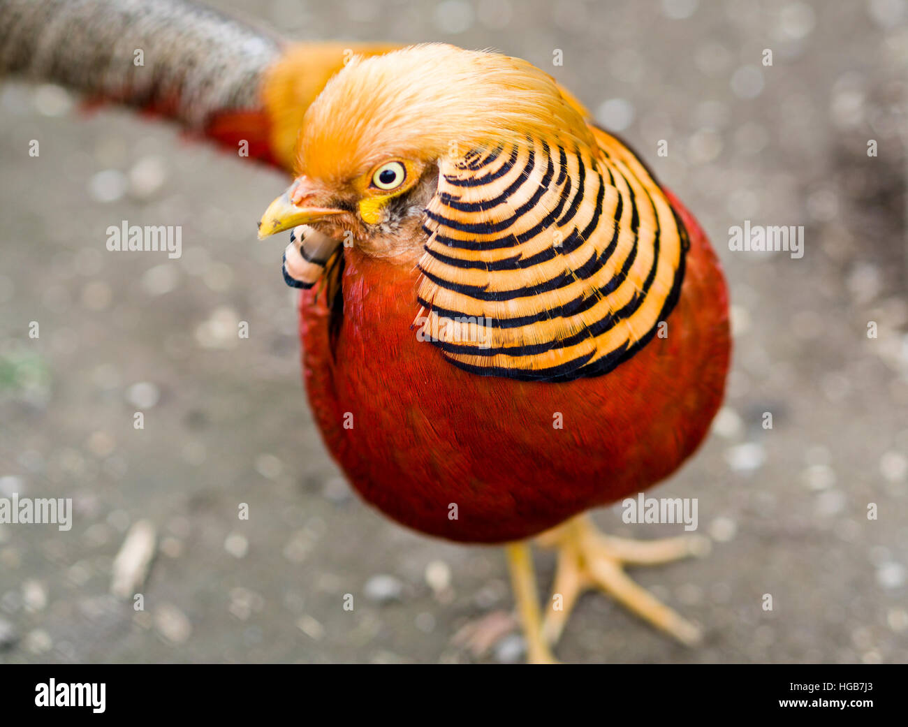 Golden Pheasant in a zoo. A male golden pheasant shows off his bright orange head plumage or crest. Stock Photo