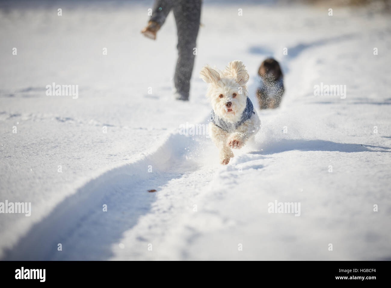 White havanese dog running in snow in winter in the park Stock Photo