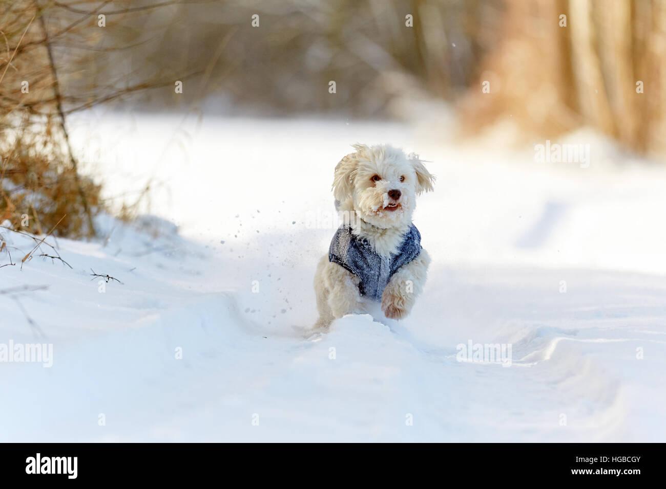 White havanese dog running in snow in winter in the park Stock Photo