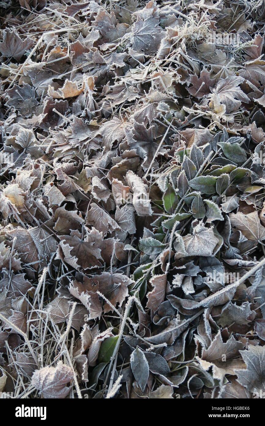 Hardy gardener - frozen leaves Stock Photo