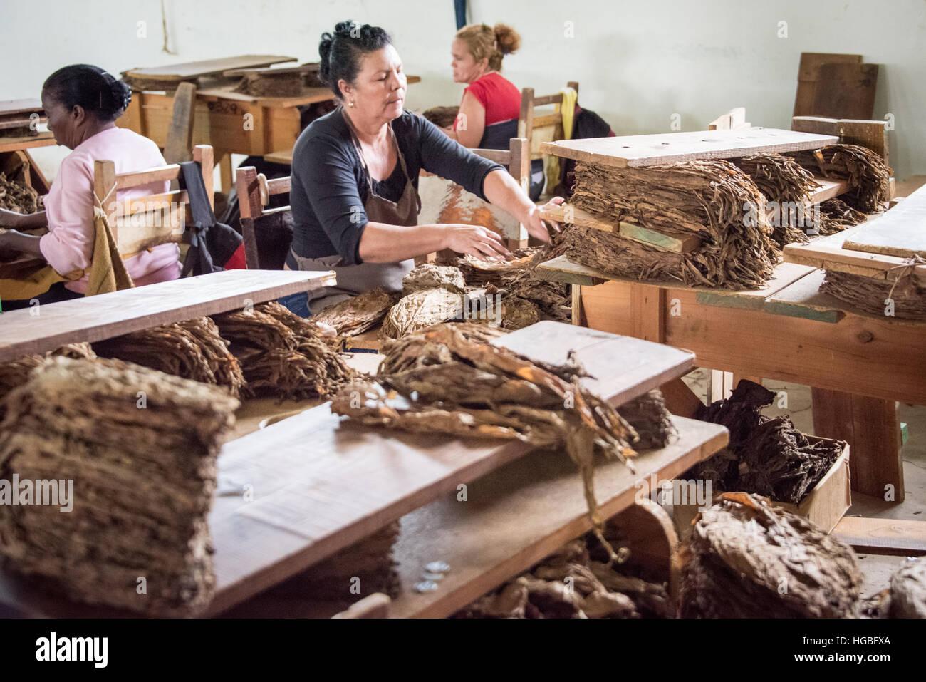 Sorting Tobacco Leaves, Cigar Factory, Vinales, Cuba - Stock Image