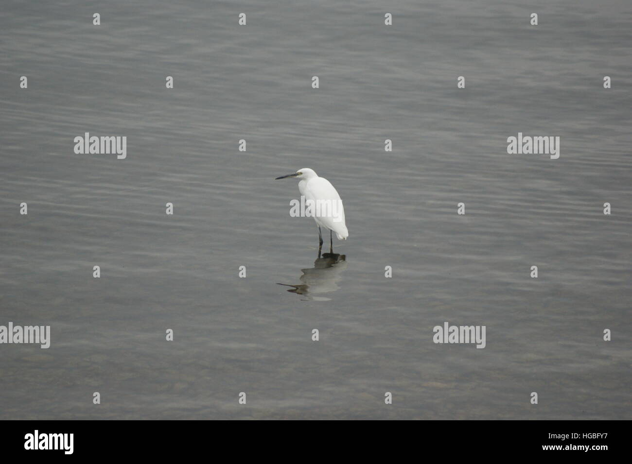 A lone Little Egret wading at Draycote Water reservoir on 25th October 2016. Stock Photo