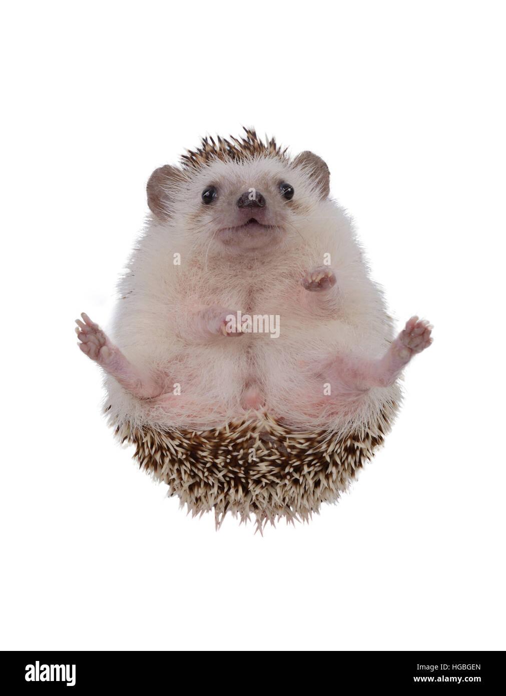 Small hedgehog upturned on white background. - Stock Image