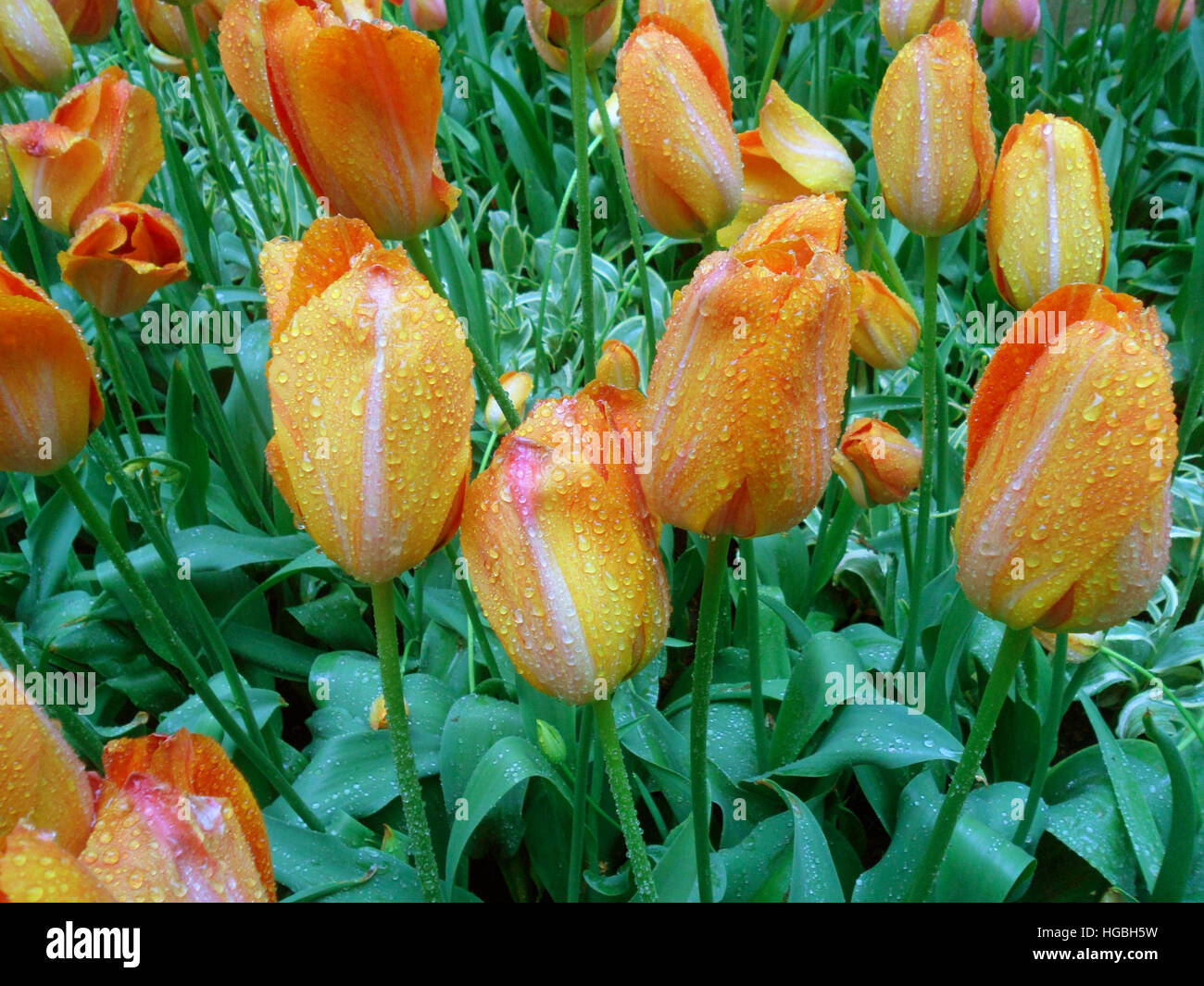Bunch of Blooming Orange and Yellow Two-Tone Tulips with Raindrops - Stock Image