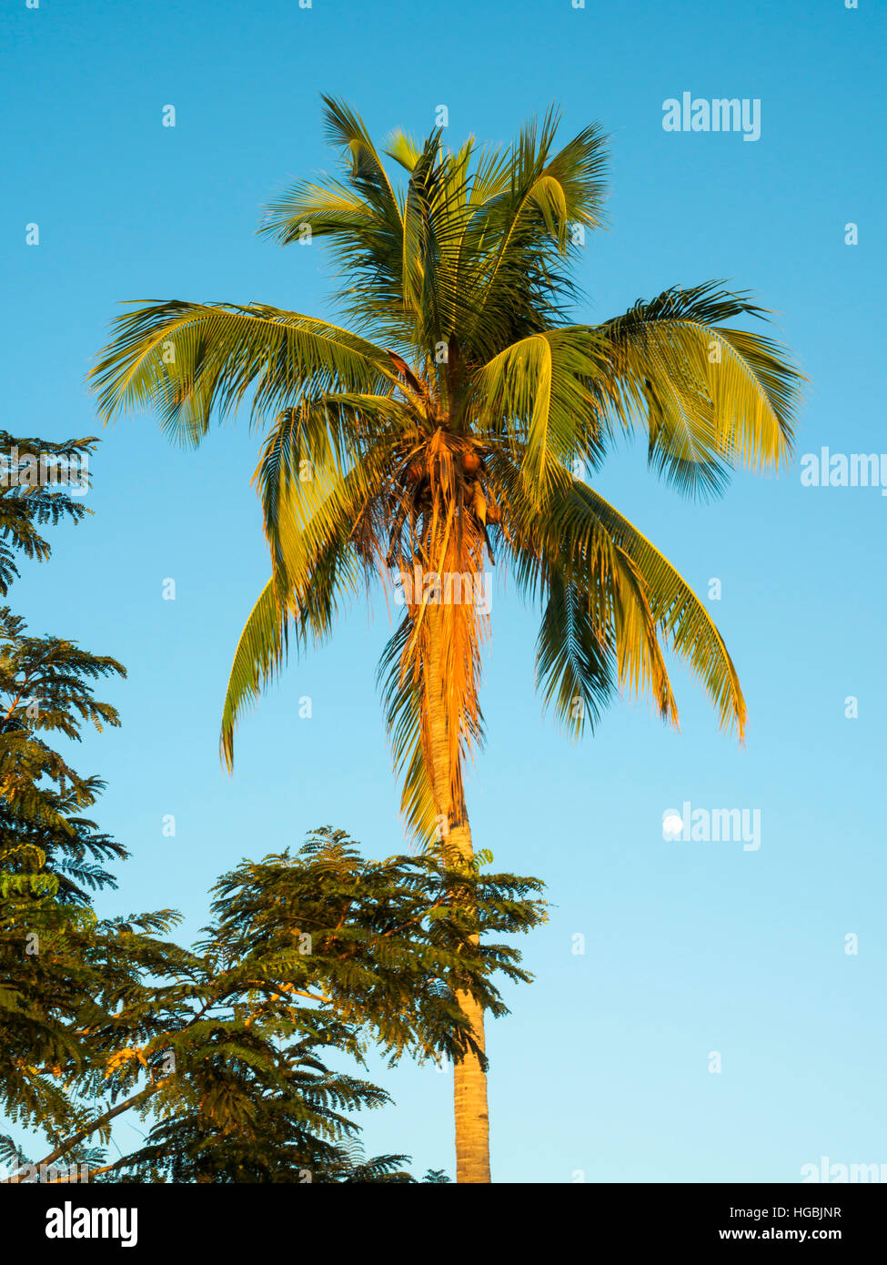 Coconut palm tree in Dili, East Timor - Stock Image