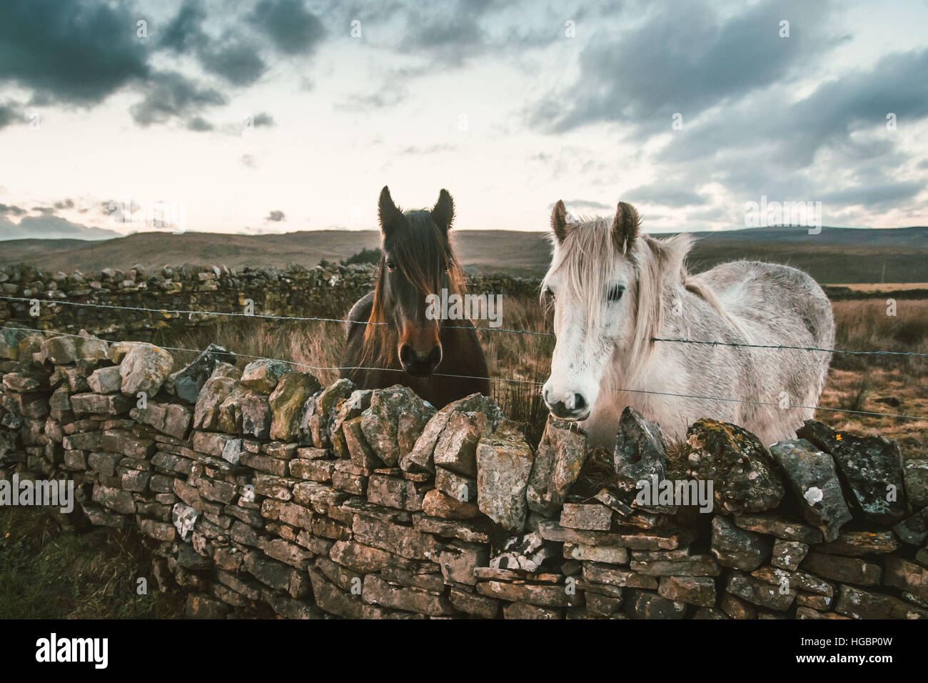 Two horses stand in a field surround by stone walls against the dramatic backdrop of the Pennines. Yorkshire, England. - Stock Image