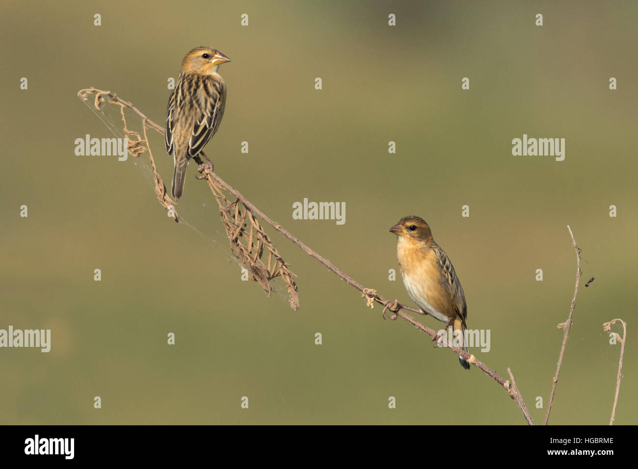 The Asian golden weaver (Ploceus hypoxanthus) is a species of bird in the Ploceidae family. - Stock Image