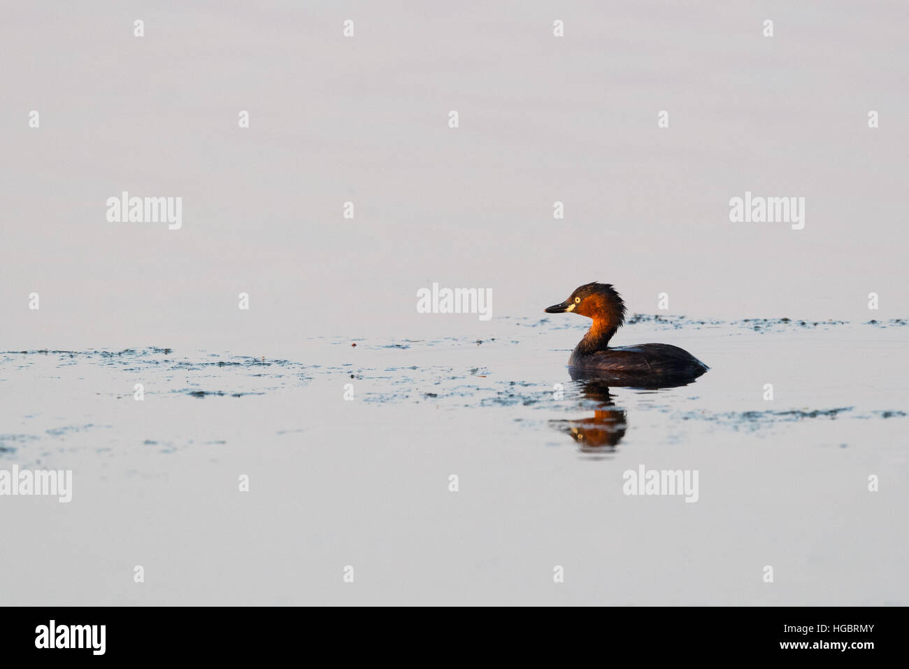 The little grebe (Tachybaptus ruficollis), also known as dabchick, is a member of the grebe family of water birds. - Stock Image