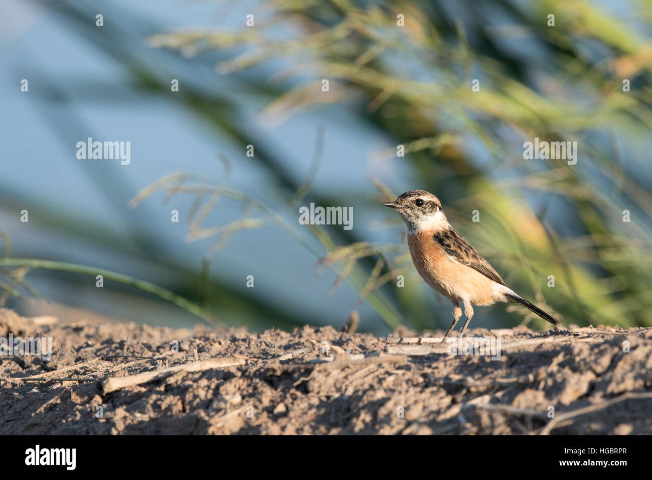 The Siberian stonechat or Asian stonechat (Saxicola maurus) is a recently validated species of the Old World flycatcher Stock Photo