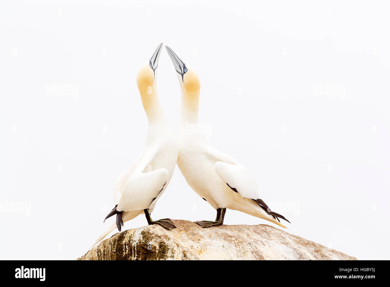 Northern Gannet (Morus bassanus) adult pair, displaying, standing on rock, Great Saltee, Saltee Islands, Ireland - Stock Image