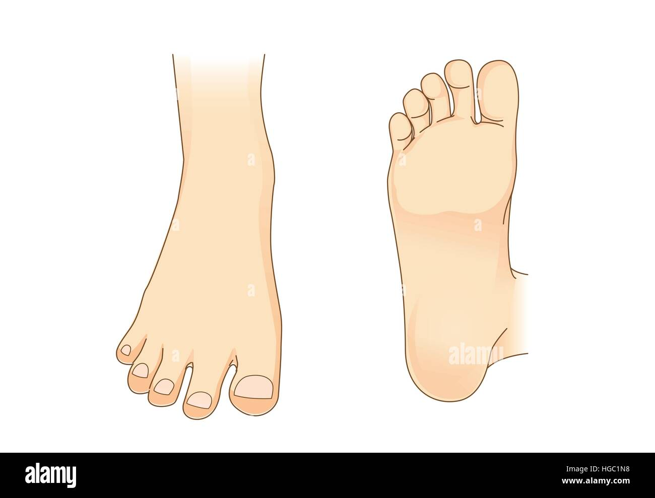 Foot vector in side view and bottom of foot - Stock Image