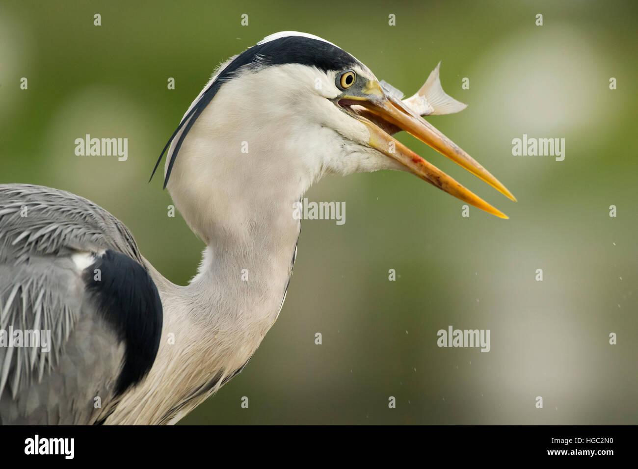 Grey heron (Ardea cinerea) swallowing a fish - Stock Image