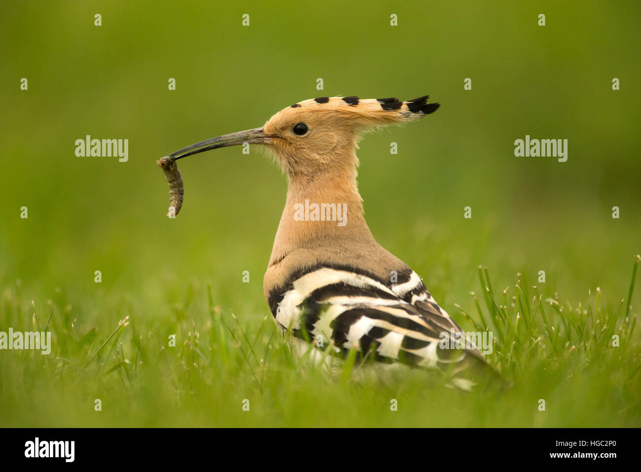 Hoopoe (Upupa epops) with a grub - Stock Image