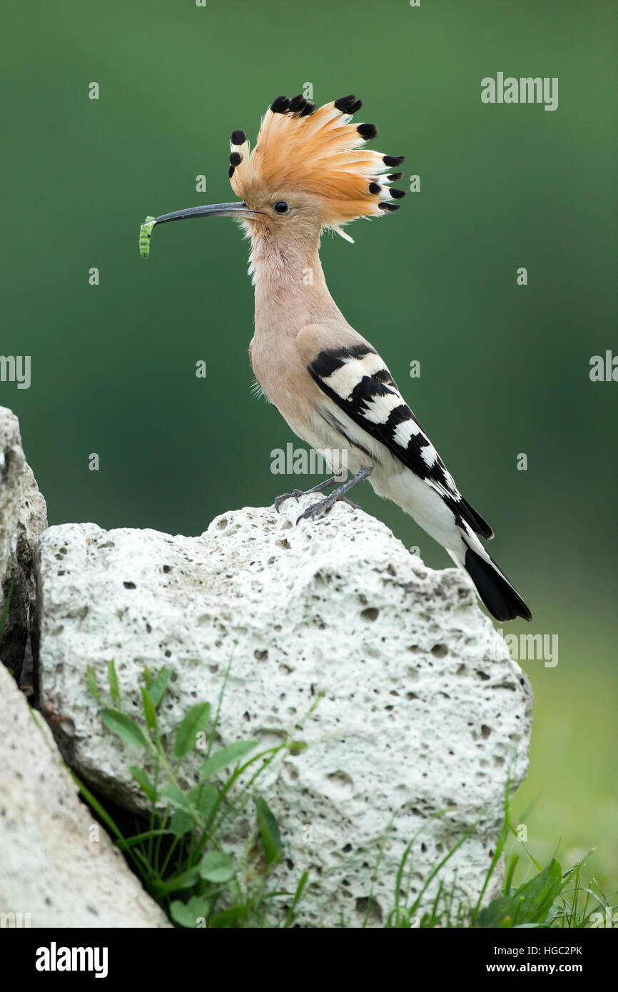 Hoopoe (Upupa epops) with a grub at its nest site - Stock Image