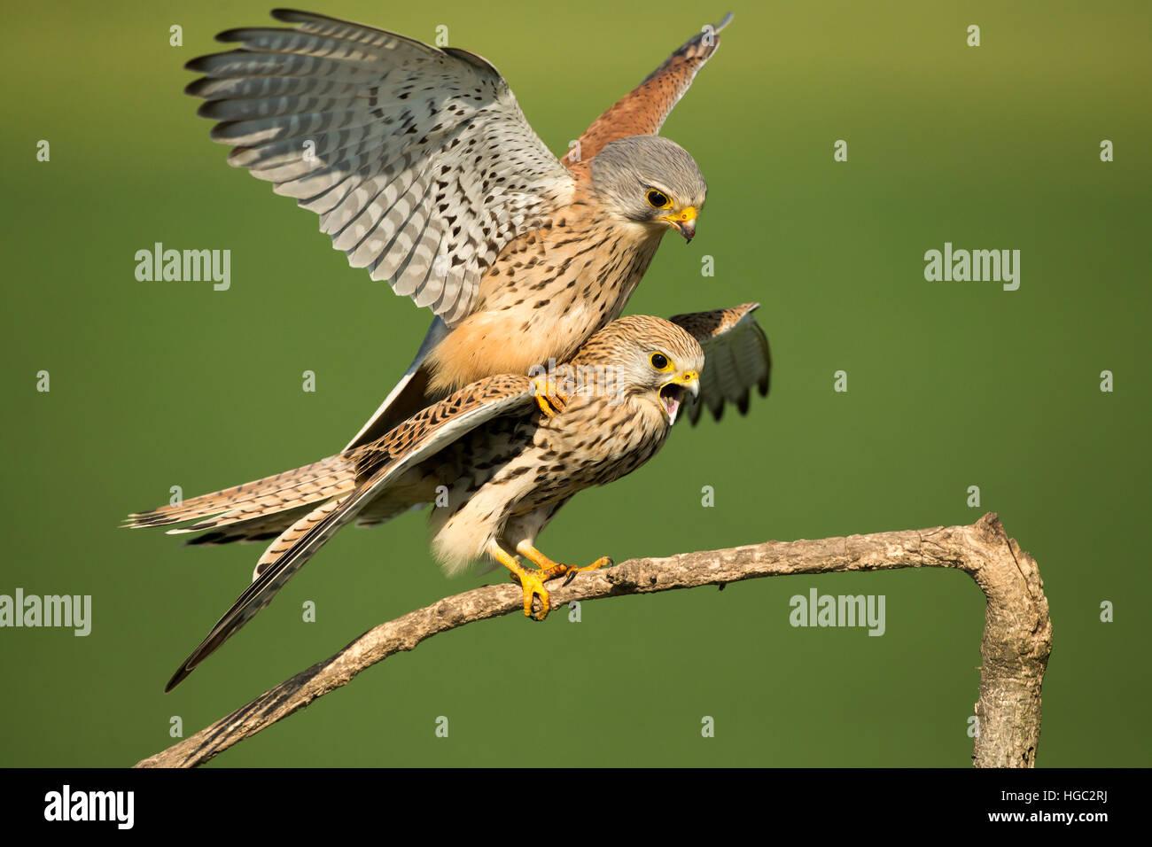 Kestrels (Falco tinnunculus) mating - Stock Image