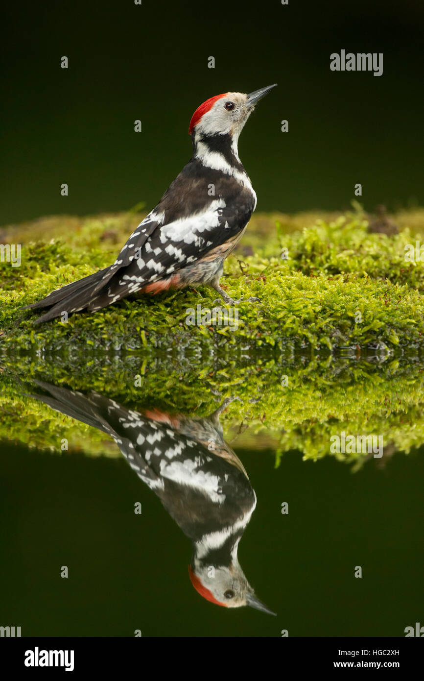 Middle spotted woodpecker (Dendrocopos medius) reflection - Stock Image