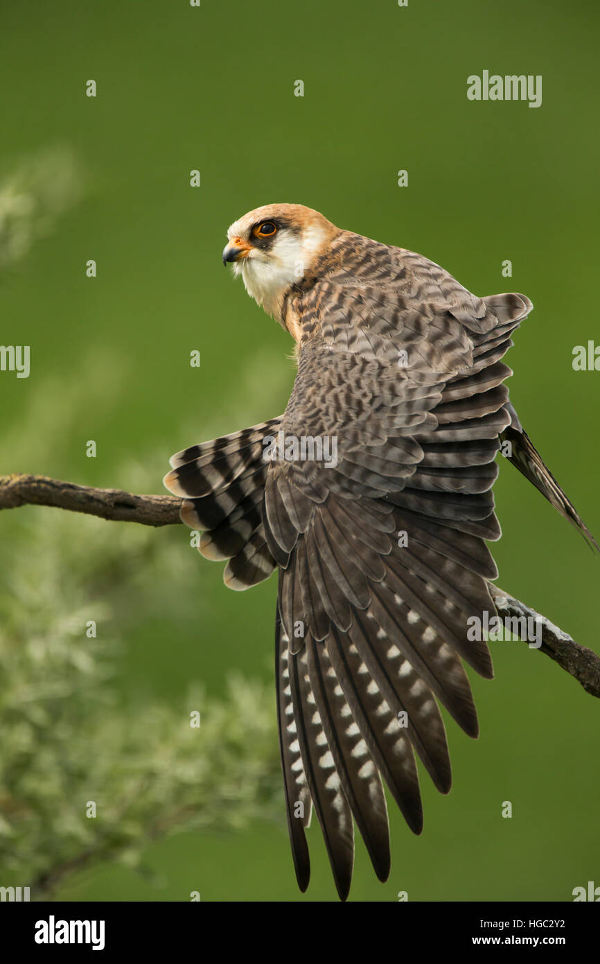 Red footed falcon (Falco vespertinus) female stretching - Stock Image