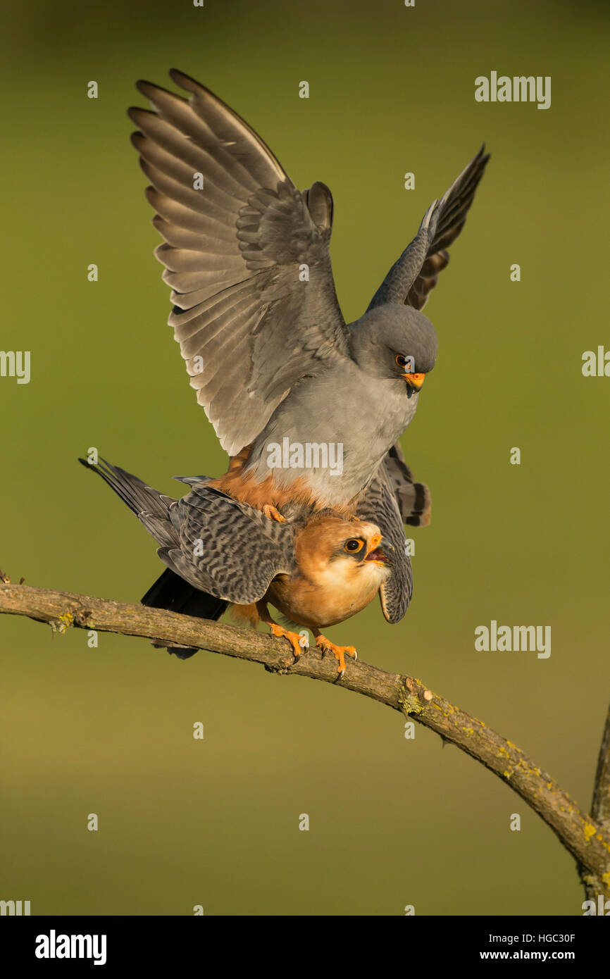 Red footed falcons (Falco vespertinus) mating - Stock Image