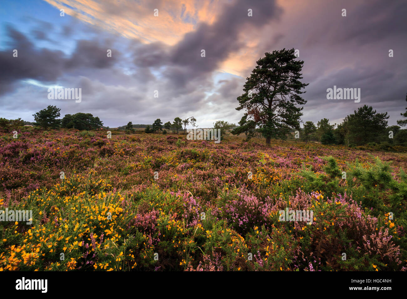 A tree captured at sunset on Woodbury Common Near Exmouth in South East Devon. - Stock Image
