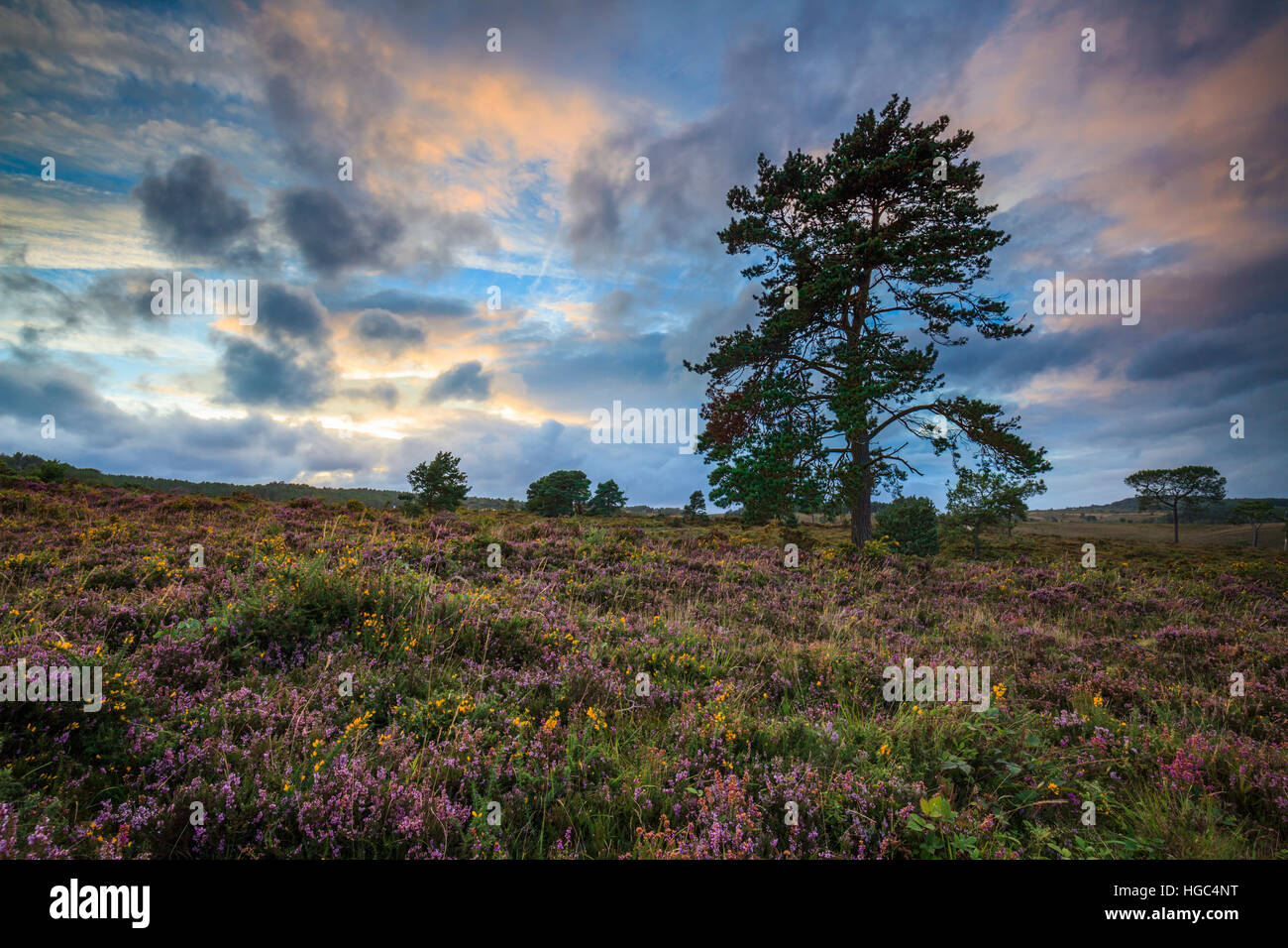 A tree on Woodbury Common Near Exmouth in South East Devon. - Stock Image