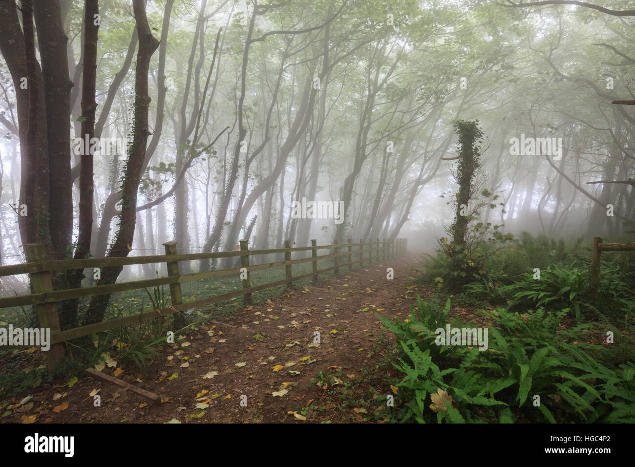 Tree's in the mist at Peak Hill near Sidmouth in South East Devon. - Stock Image