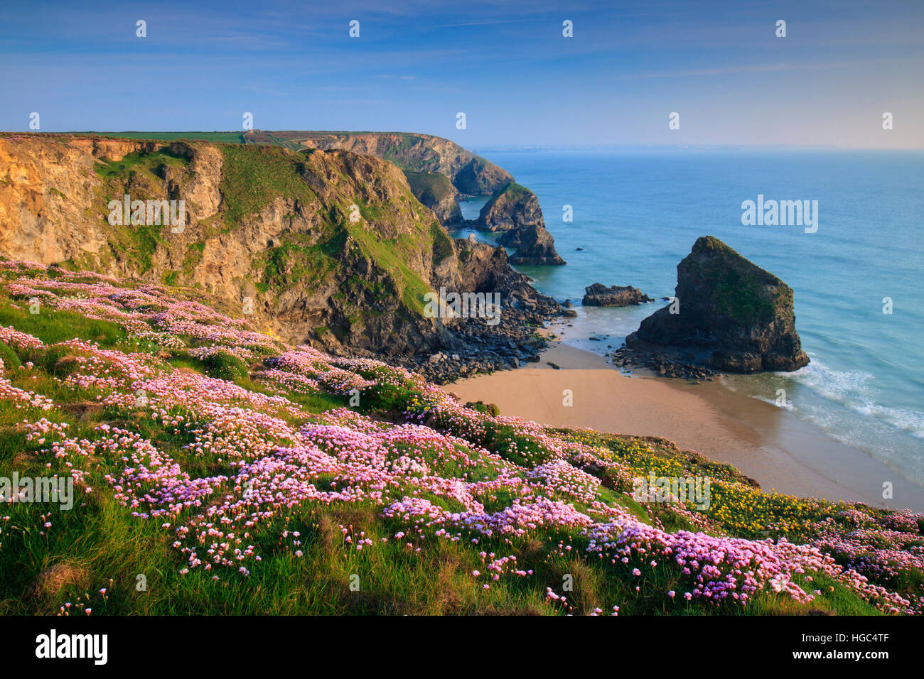 Thrift at Bedruthan Steps in Cornwall. - Stock Image