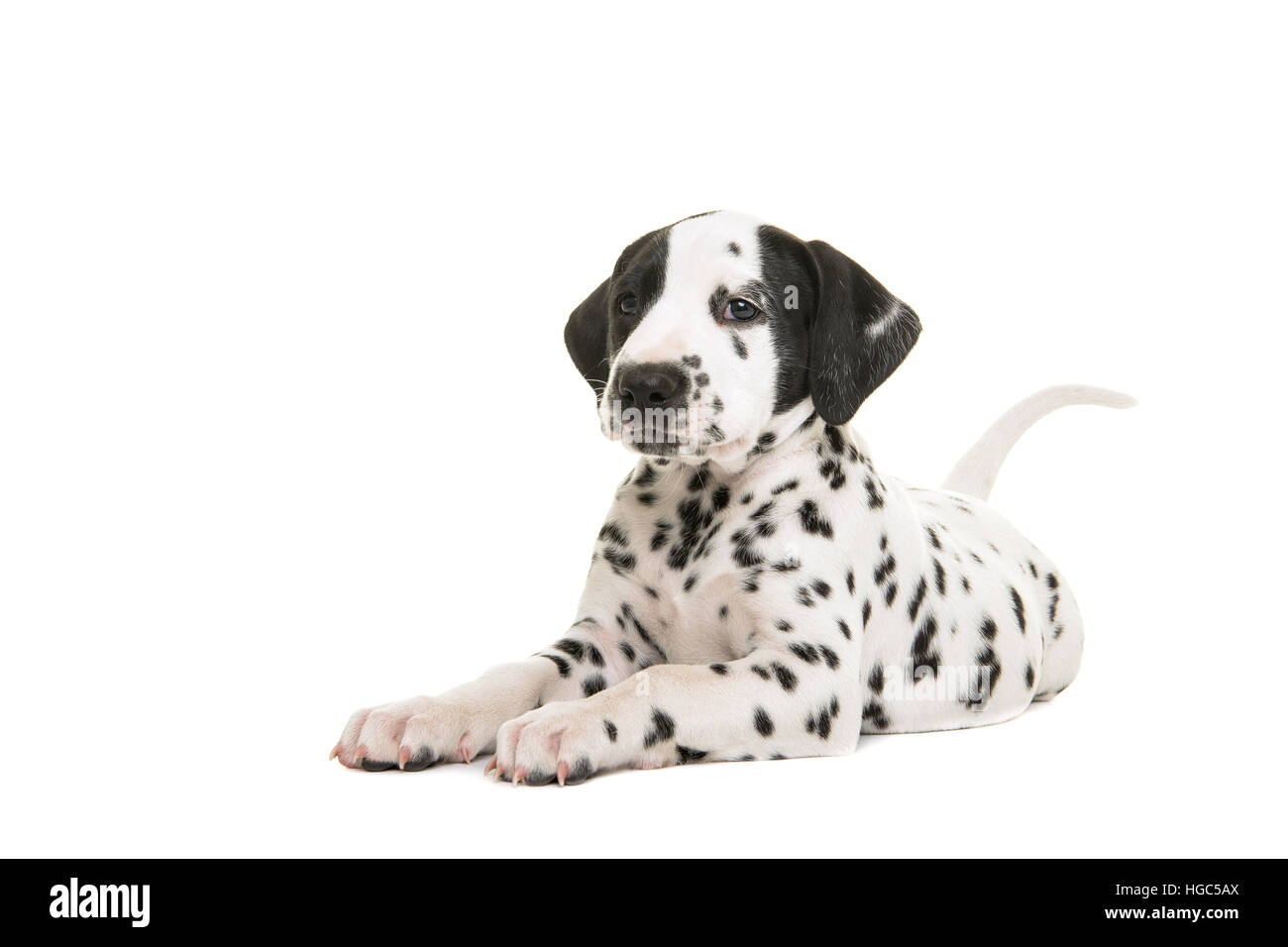 Cute dalmatian puppy lying down facing the camere isolated on a white background - Stock Image