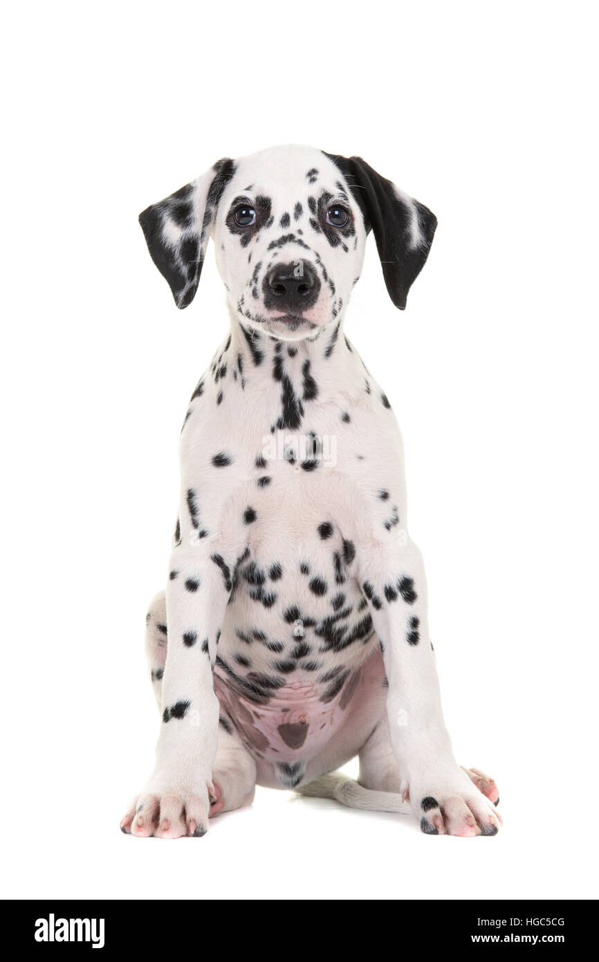 Cute black and white sitting dalmatian puppy dog facing the camera isolated on a white background - Stock Image
