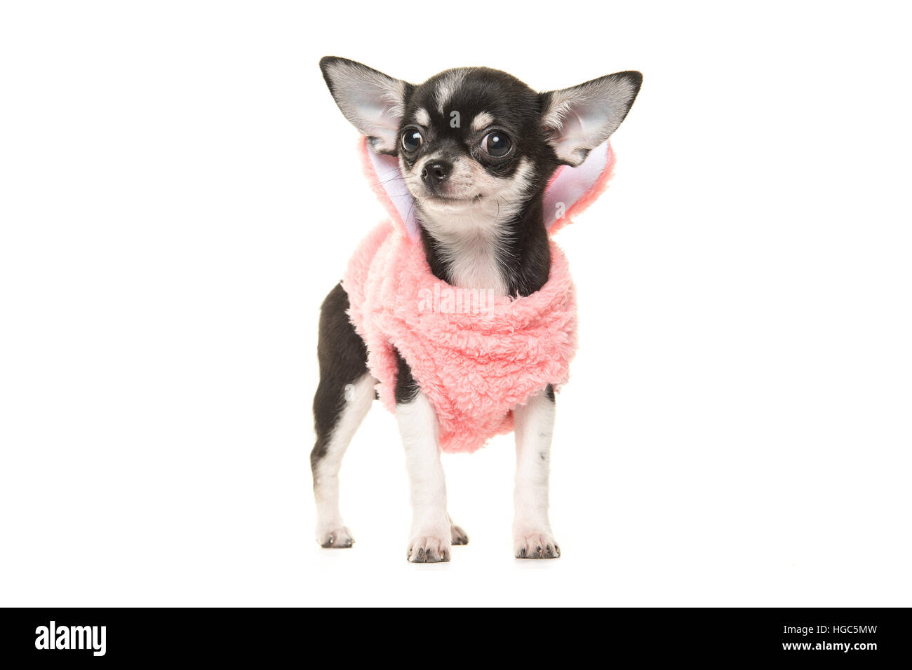 Cute black and white chihuahua puppy waring a pink sweater facing the camera isolated on a white background - Stock Image
