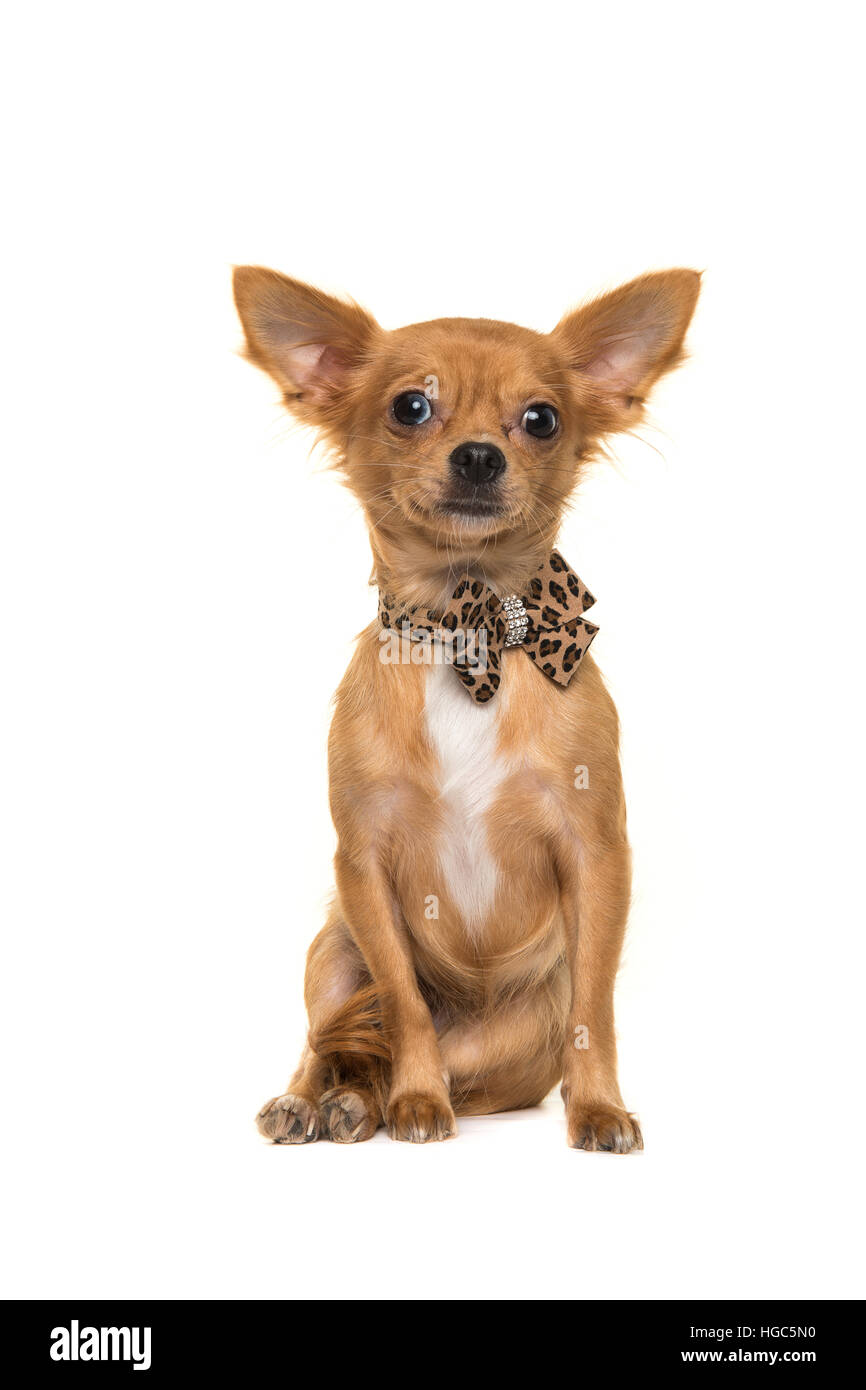 Cute brown sitting chihuahua facing the camera wearing a bow tie isolated on a white background - Stock Image