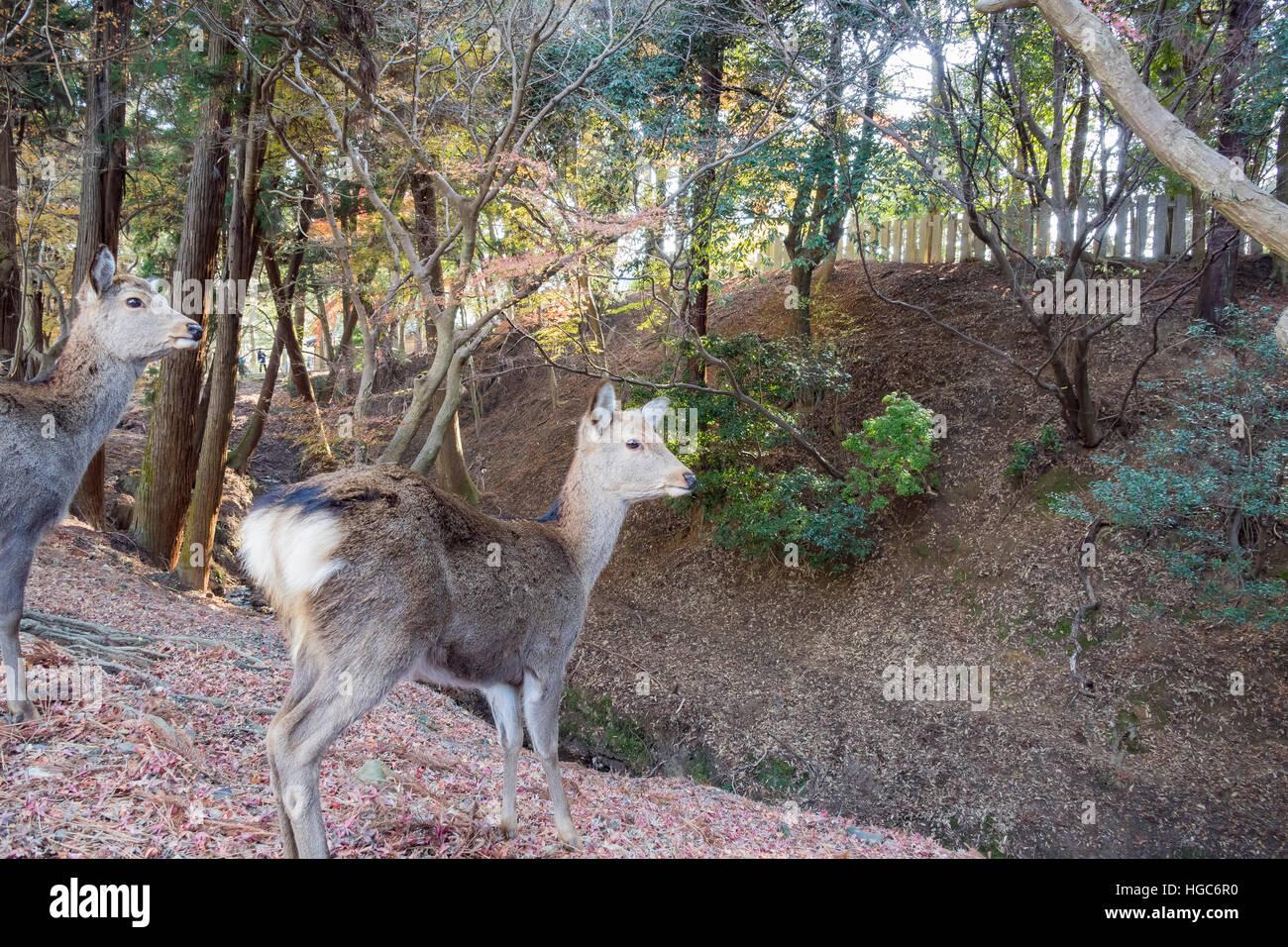 Deer and the famous and historical TodaiJi in Nara Park Nara, Japan - Stock Image