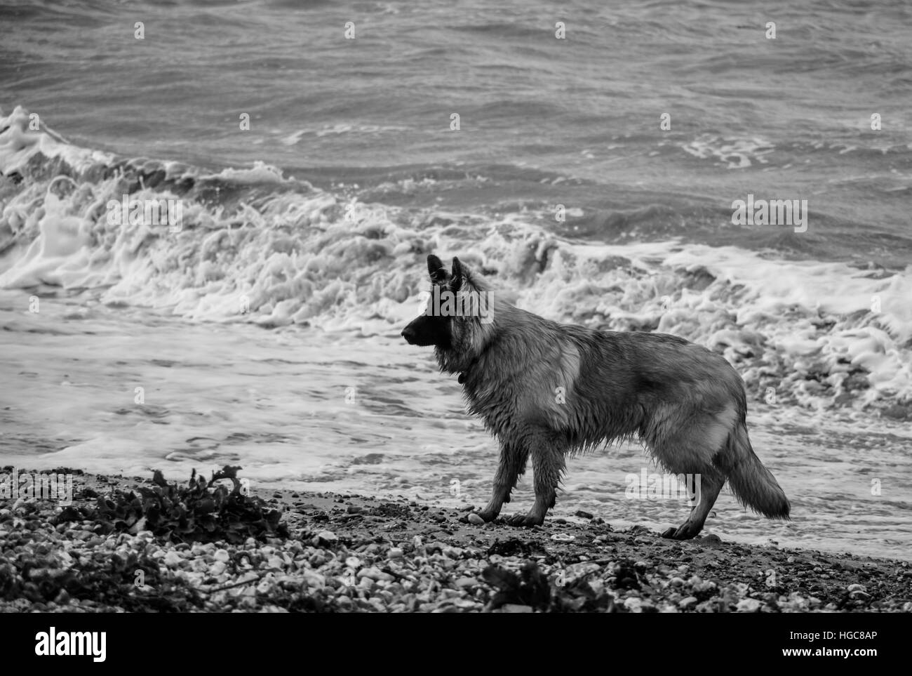 Dog by the sea Stock Photo