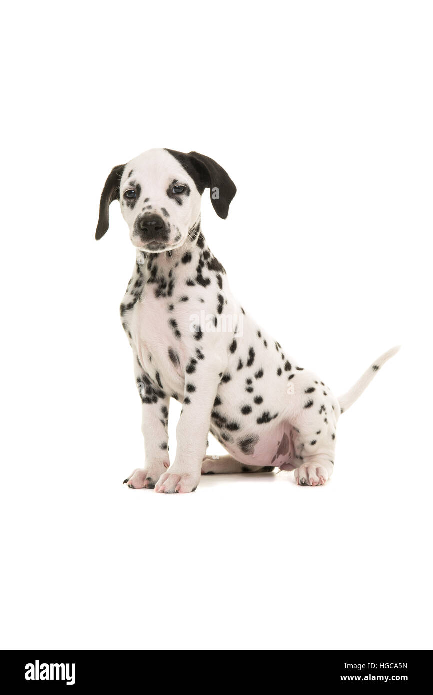 Cute black and white dalmatian puppy sitting proud facing the camera isolated on a white background - Stock Image