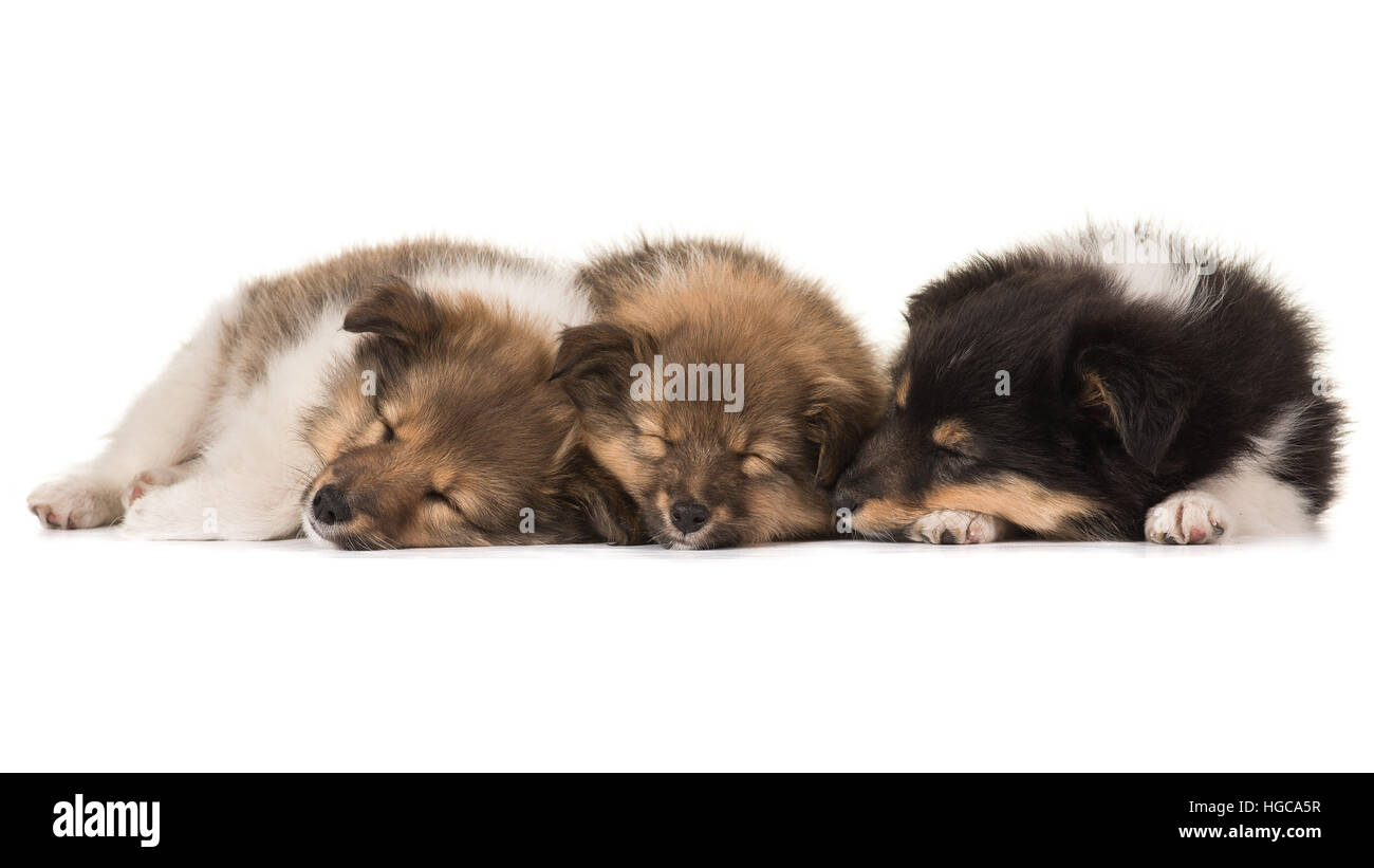 Three cute sleeping shetland sheepdog puppies lying netxt to eachother isolated on a white background - Stock Image