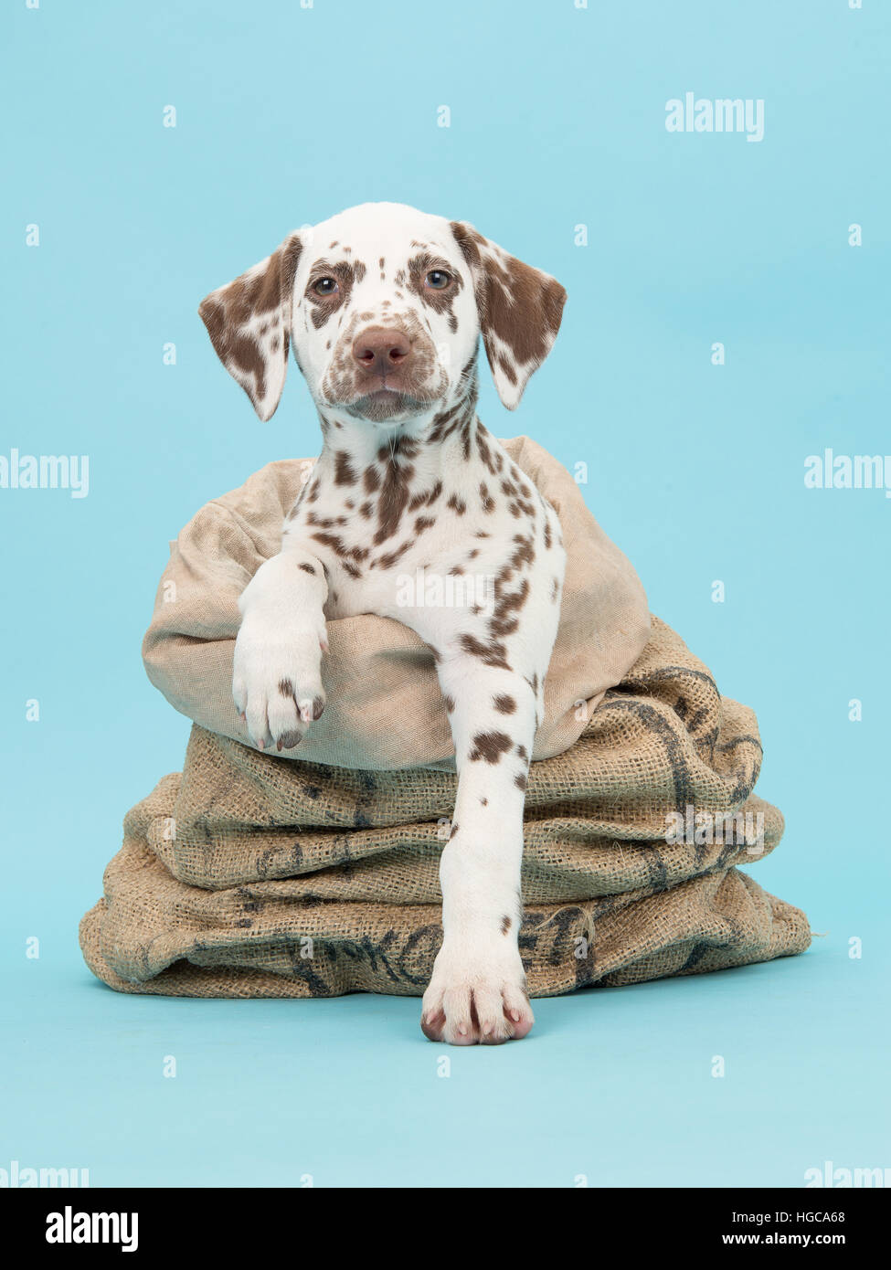 Cute brown and white dalmatian puppy facing the camera in a burlap sack on a blue background - Stock Image