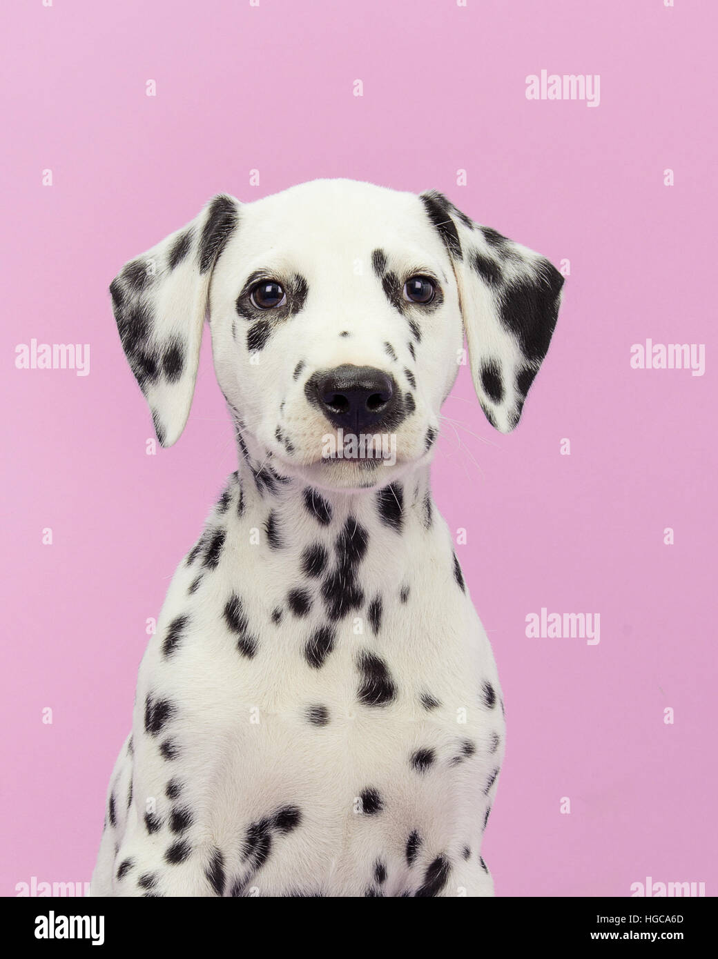Cute dalmatian puppy portrait facing the camera on a pink background - Stock Image